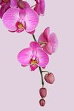 Purple orchid. Beautiful purple orchid on pink Royalty Free Stock Photos