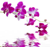 Purple orchid. A purple orchid set against a plain background with reflection in water Stock Photo