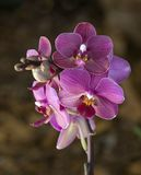 Purple orchid. Orchid - bunch of violet blossoms Royalty Free Stock Photos