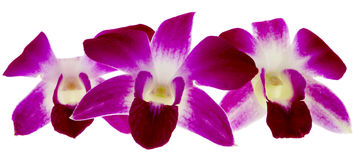 Purple orchid. Flowers isolated against a white background Royalty Free Stock Images