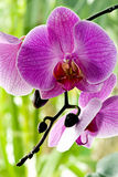 Purple Orchid. A purple orchid as closeup with green background Stock Photos