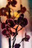 Purple orchid backlit. Burpurnye orchid backlit. On sunset background stock photo