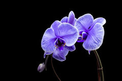 Purple Orchid. A beautiful blue orchid with black background Royalty Free Stock Photography