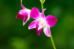 Purple orchid beautiful flowers Stock Photos