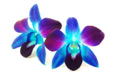 Purple orchid. Beautiful purple orchid flowers on white Stock Images