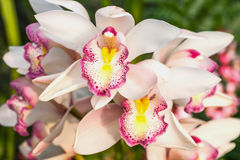 Purple orchid Royalty Free Stock Images