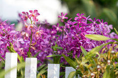 Purple orchid. Behind a white fence royalty free stock photography
