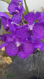 Purple orchid. A big purple orchid Stock Photo