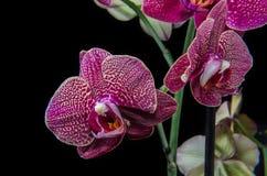 Purple orchid  on black Stock Image