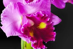 Purple orchid with black background 10 Royalty Free Stock Photo