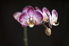 Purple Orchid on a Black Background Stock Images