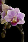 Purple Orchid, black background Royalty Free Stock Photography
