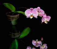 Purple orchid on a black background Royalty Free Stock Photo