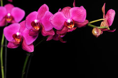 Purple orchid on black Royalty Free Stock Image