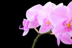 Purple orchid on black background Royalty Free Stock Photography