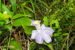 Orchid bloom in a cloud forest of Monteverde, Costa Rica. Purple orchid bloom belonging to the genus Sobralia or Sob in a cloud forest of Monteverde, Costa Rica stock image