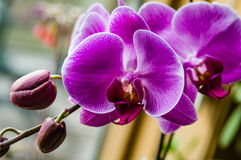 Purple orchid in bloom with buds Stock Photography