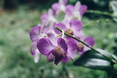Purple Orchid Blossom. In the morning Stock Images
