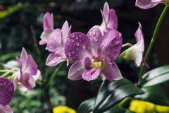 Purple Orchid Blossom Stock Photography