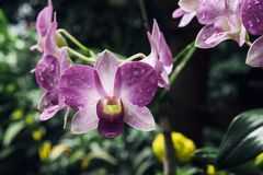 Purple Orchid Blossom. In the morning Royalty Free Stock Images