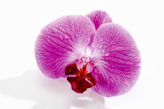 Purple orchid blossom with water drops Stock Photos