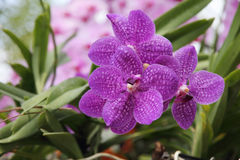Purple orchid blossoming in a tropical garden Royalty Free Stock Images