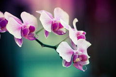 Purple orchid blossoms. Details of beautiful purple orchid blossoms.   Orchidaceae Stock Images