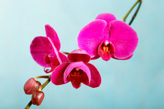 Purple orchid on a blue background Stock Image