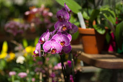 Purple orchid in the botanical garden Royalty Free Stock Images
