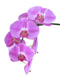 Purple Orchid Branch Stock Images