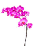 Purple orchid branch. Purple  orchid branch isolated on white background Royalty Free Stock Photography