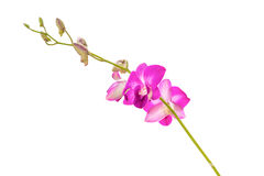 Purple orchid branch Royalty Free Stock Images