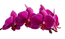 Purple orchid branch isolated on white background Royalty Free Stock Photos