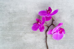 Purple orchid branch Stock Photography