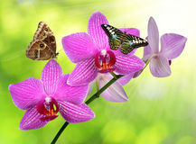 Purple orchid with butterflies Royalty Free Stock Photography