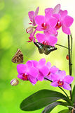 Purple orchid with butterflies Royalty Free Stock Images
