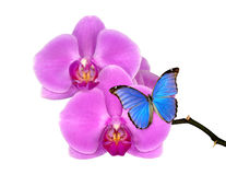 Purple orchid with butterfly Morpho Royalty Free Stock Images