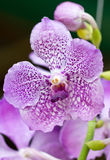 Purple Orchid. Royalty Free Stock Photo