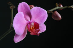 Purple Orchid close up Royalty Free Stock Photography