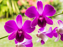 Purple orchid. Close up of purple orchid flower Royalty Free Stock Photography