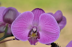 Purple Orchid. This is a close-up photo of a purple orchid Royalty Free Stock Photo