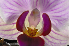 Purple Orchid Closeup Royalty Free Stock Photography