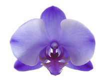 Purple Orchid Closeup Royalty Free Stock Photo
