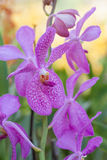 Purple orchid. Clouse-Up flower Purple orchid Royalty Free Stock Images