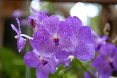 Purple orchid,Dendrobium Pink Orchids, magenta orchid on blur ba Stock Image