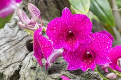 Purple orchid, Dendrobium sonia. Purple orchid, Dendrobium sonia, with water droplets, blooming in the garden on wooden blurred background, in Thailand. Macro royalty free stock images