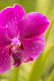 Purple orchid extreme close up Stock Photos