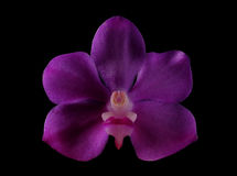 Purple orchid flower Royalty Free Stock Image