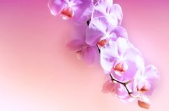 Purple Orchid Flower. Background, Celebration. Stock Photography