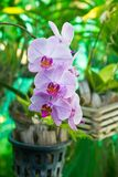 Purple Orchid flower, beautiful Royalty Free Stock Photos